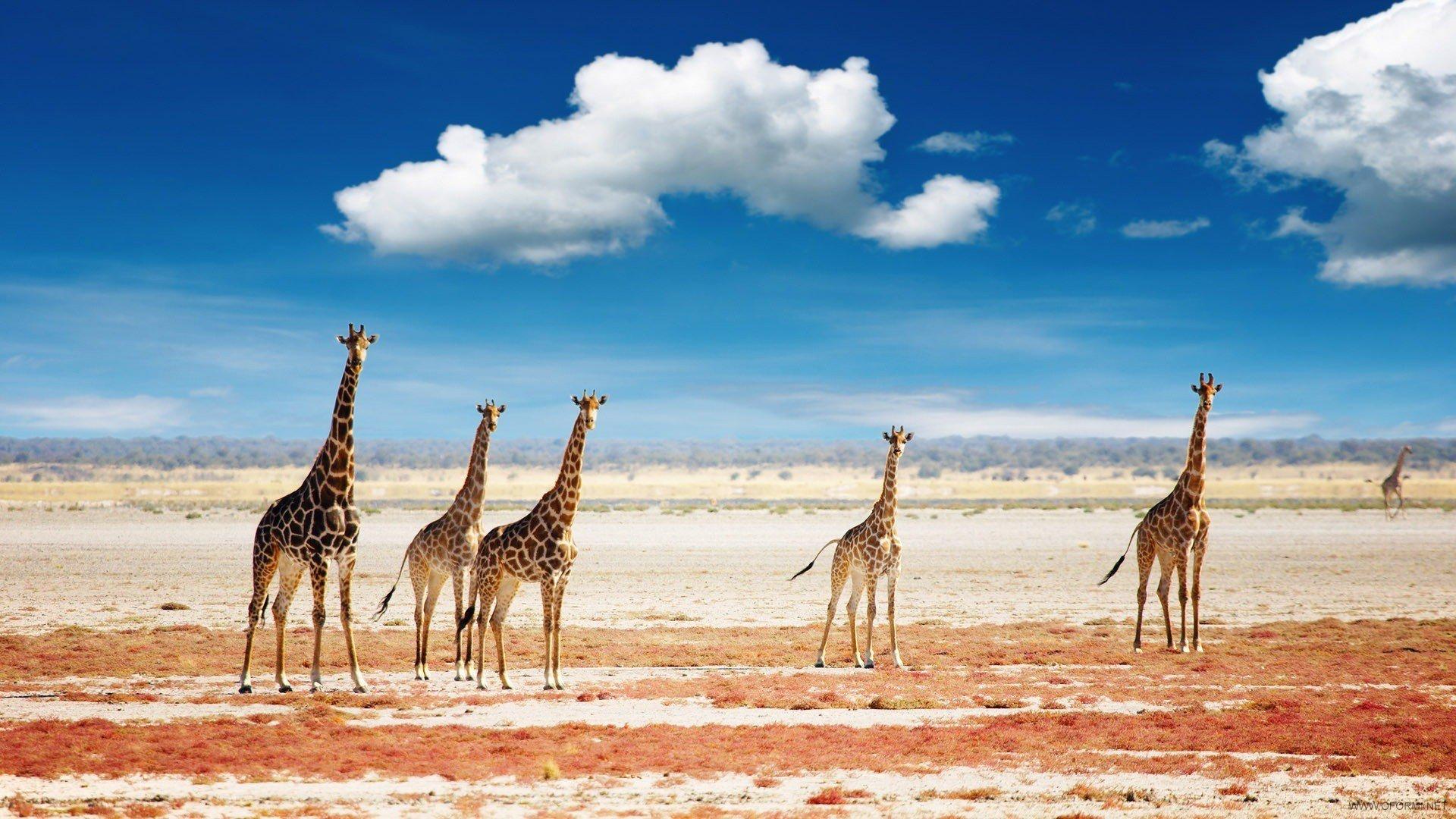 African safari animals wallpaper