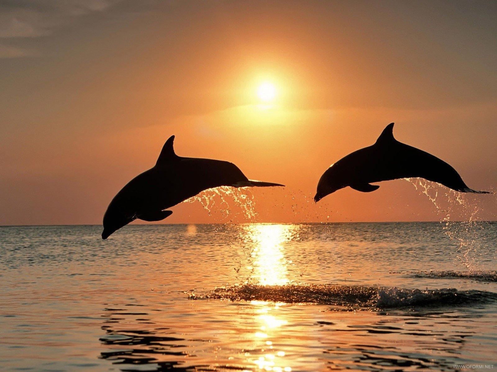 Обои на рабочий стол дельфины загрузить