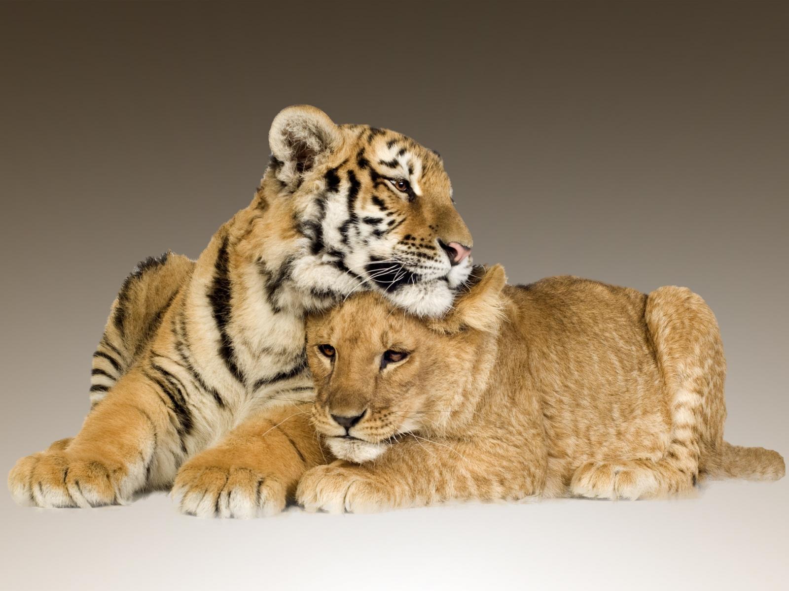Приглашение, открытки львы и тигры